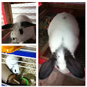 French lop/ checkered giant mix breed