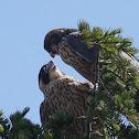 Peregrine Falcon (fledglings)