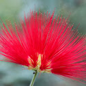 Calliandra Flower
