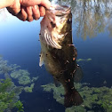 Largemouth Bass