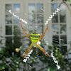 Signature Spider (Female)