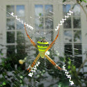 Signature Spider (Female)