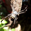 st Andrews cross spider