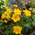 Kingcup, marsh marigold