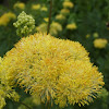 Yellow meadow rue