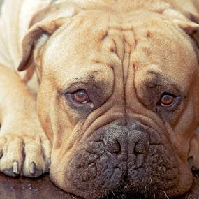 Garth, close up by Joe Eddy - Animals - Dogs Portraits