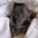 Ratón ciervo (deer mouse)