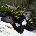 Orchard Swallowtail  (female)