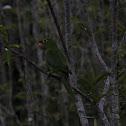 Maracanã (White Eyed Parakeet)