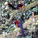 The Indian giant squirrel, Malabar Giant Squirrel