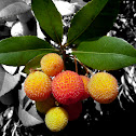 Strawberry Tree, Apple of Cain