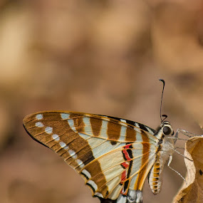 The spot swordtail by Prajwal Ullal - Animals Insects & Spiders ( butterfly, swordtail, india, sanjay gandhi national park, canon 55-250is, canon 550d,  )