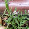 Sweet purple alyssum