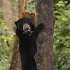Malaysan Sun Bear