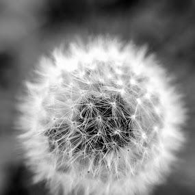 Dandelion by Stefan Ungureanu - Black & White Macro ( bucharest, macro, nature, dandelion, black and white, romania, close up, bestphoto )