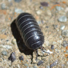 Unknown Pill Bug
