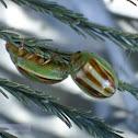 Striped Acacia Leaf Beetle