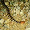 """""""Texas Tiger Centipede"""" """"Arizona Blue-Banded Centipede"""".  """"Banded"""", """"Striped"""", and """"Tiger Centipede"""" seem to all be different names for the same or similar types. I believe there are many that look similar."""