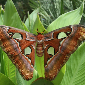 My How You've Grown  by William Stansbury - Animals Insects & Spiders ( butterfly, wings, big, insect, moth,  )