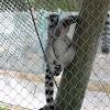 Lémure-de-cauda-anelada