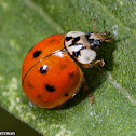 Multicolored Asian Lady Beetle