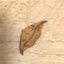Juniper-twig geometer