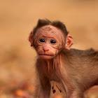 Bonnet Macaque (Baby,Juvenile)