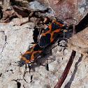 Small Milkweed Bug Pair