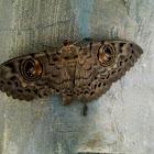 Owl Moth