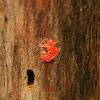 slime mold plasmodium