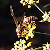 Golden paper wasp