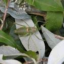 Steppen-Sattelschrecke