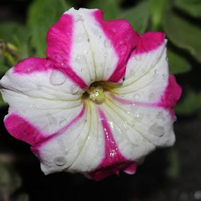 by Raj Tandukar - Flowers Single Flower ( kathmandu, flower, nepal,  )