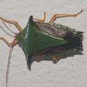 Stink Bug, Edessa sp.