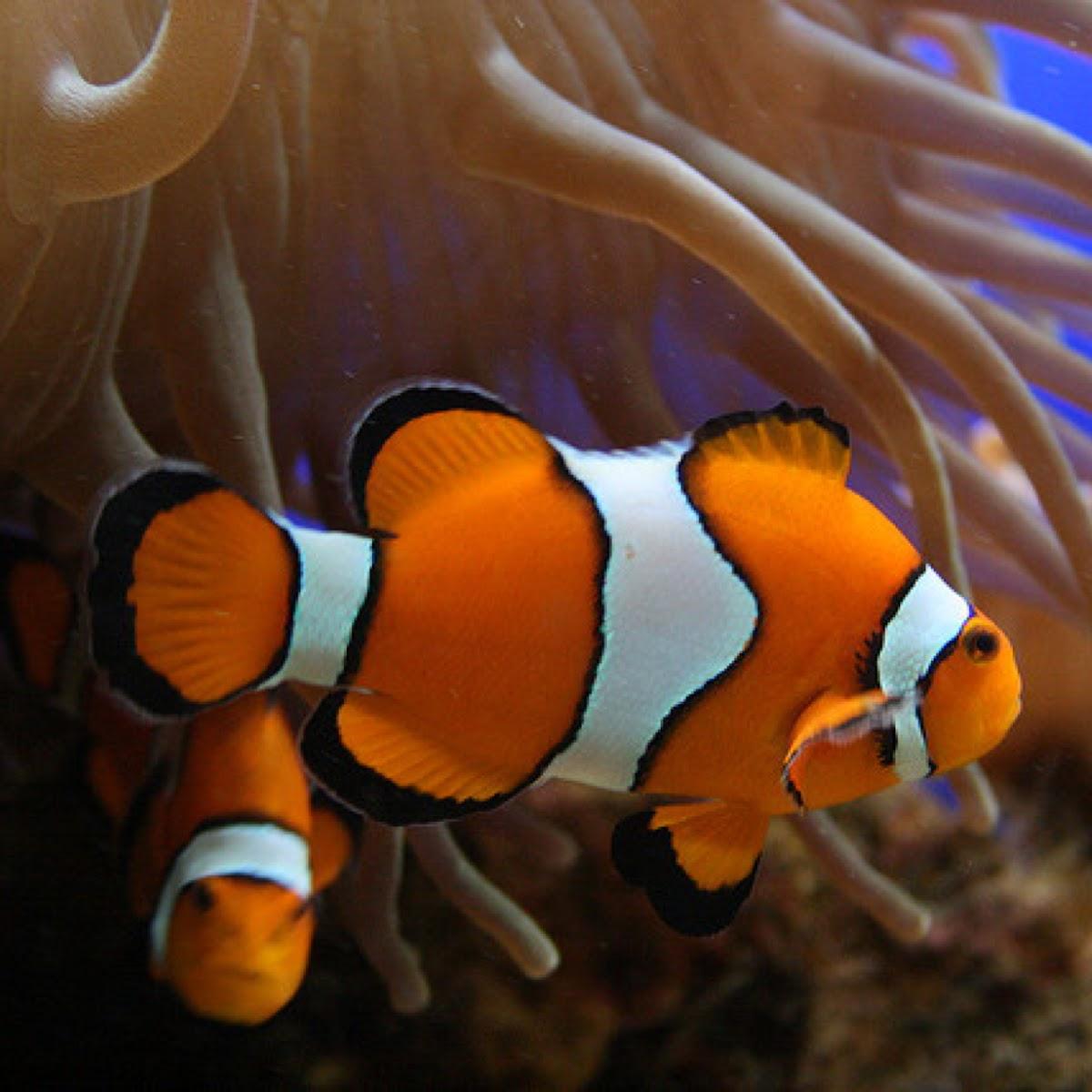 Clownfish or anemonefish