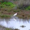 Little Egret (Λευκοτσικνιάς)