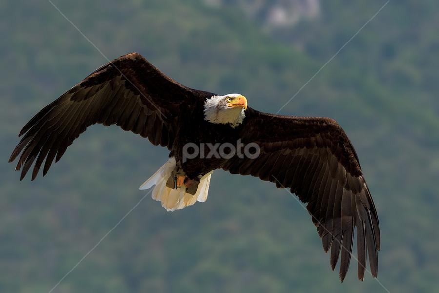 Bald eagle by Roberto Melotti - Animals Birds ( bird, flight, flying, haliaeetus leucocephalus, roberto melotti, aquila calva, aquila di mare testabianca, bald eagle, nikon d810 )