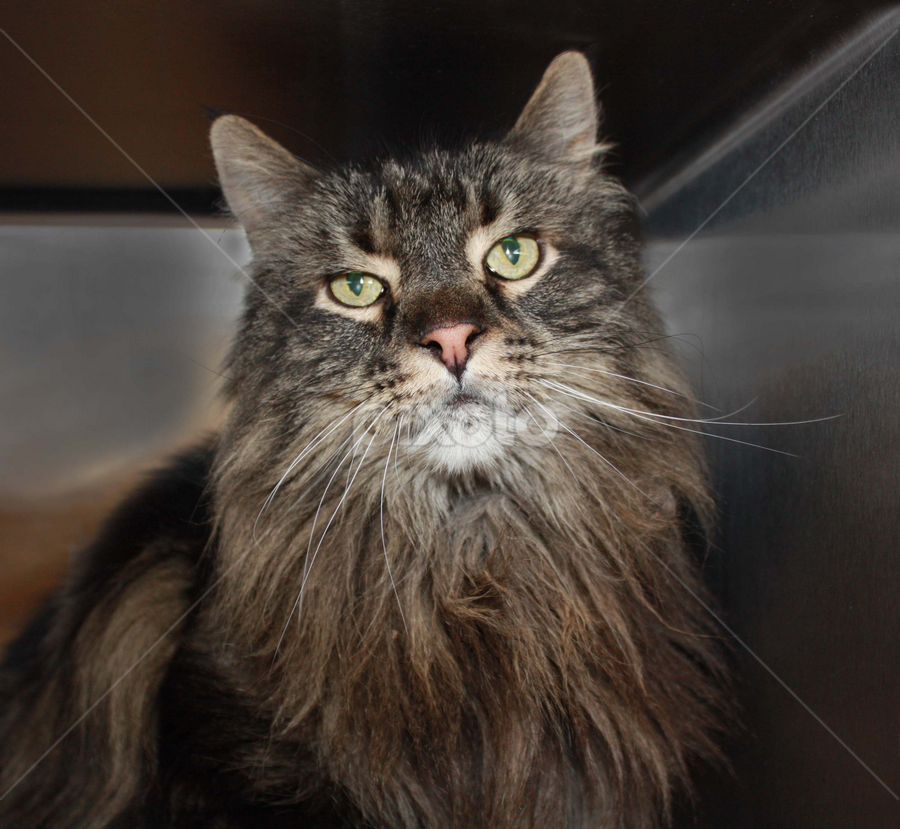 Finn by Sharon Scholtes - Animals - Cats Portraits ( cat, maine coon, brown, gray, feline )