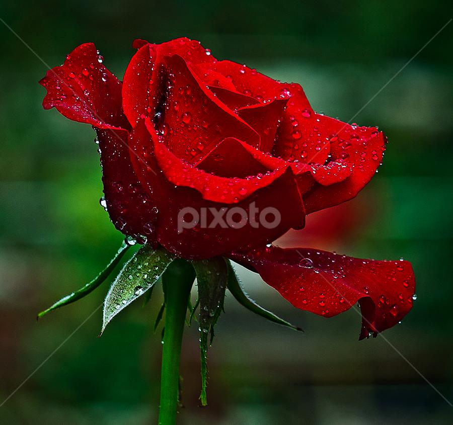 Rose on the Garden by TEDDY ZUSMA - Flowers Single Flower