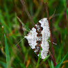 Silver-ground carpet moth