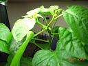 6.5 weeks, branching closeup