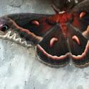 Cecropia moth (male)