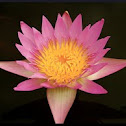 Start Lotus