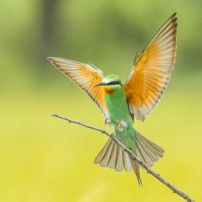 The landing by Rian Van Schalkwyk - Animals Birds ( flying, colourful, landing, bee eater, blue cheeked bee eater )
