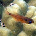 Twinspot cardinalfish
