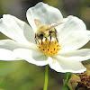 Garden Cosmos with bumblebee