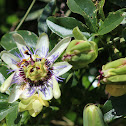 Blue passion flower (Mburucujá)