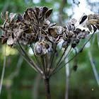 Giant Hogweed (Dried)