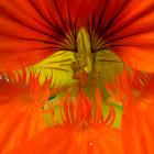 Garden nasturium