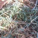 Firewitch Dianthus